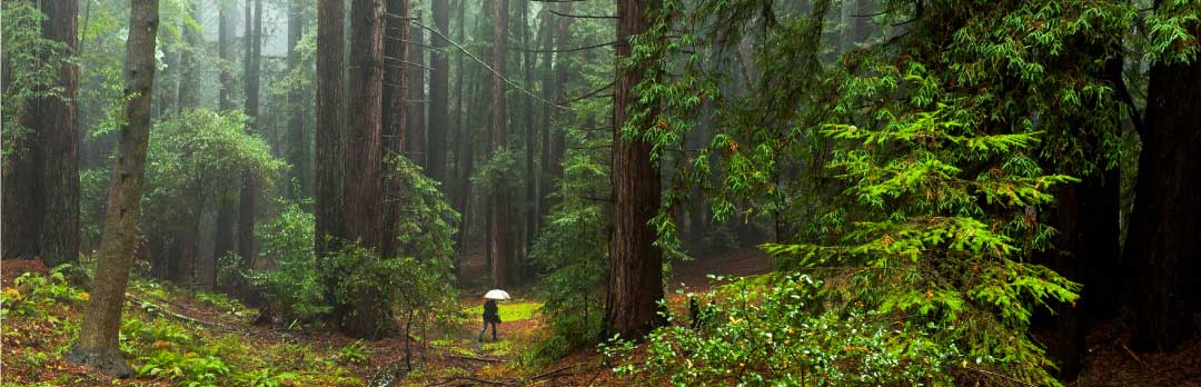 Redwood grove on a rainy day